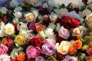 Rose Heads