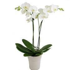 Double White Phaleonopsis Orchid