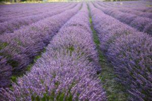 lavender_rows-217-589