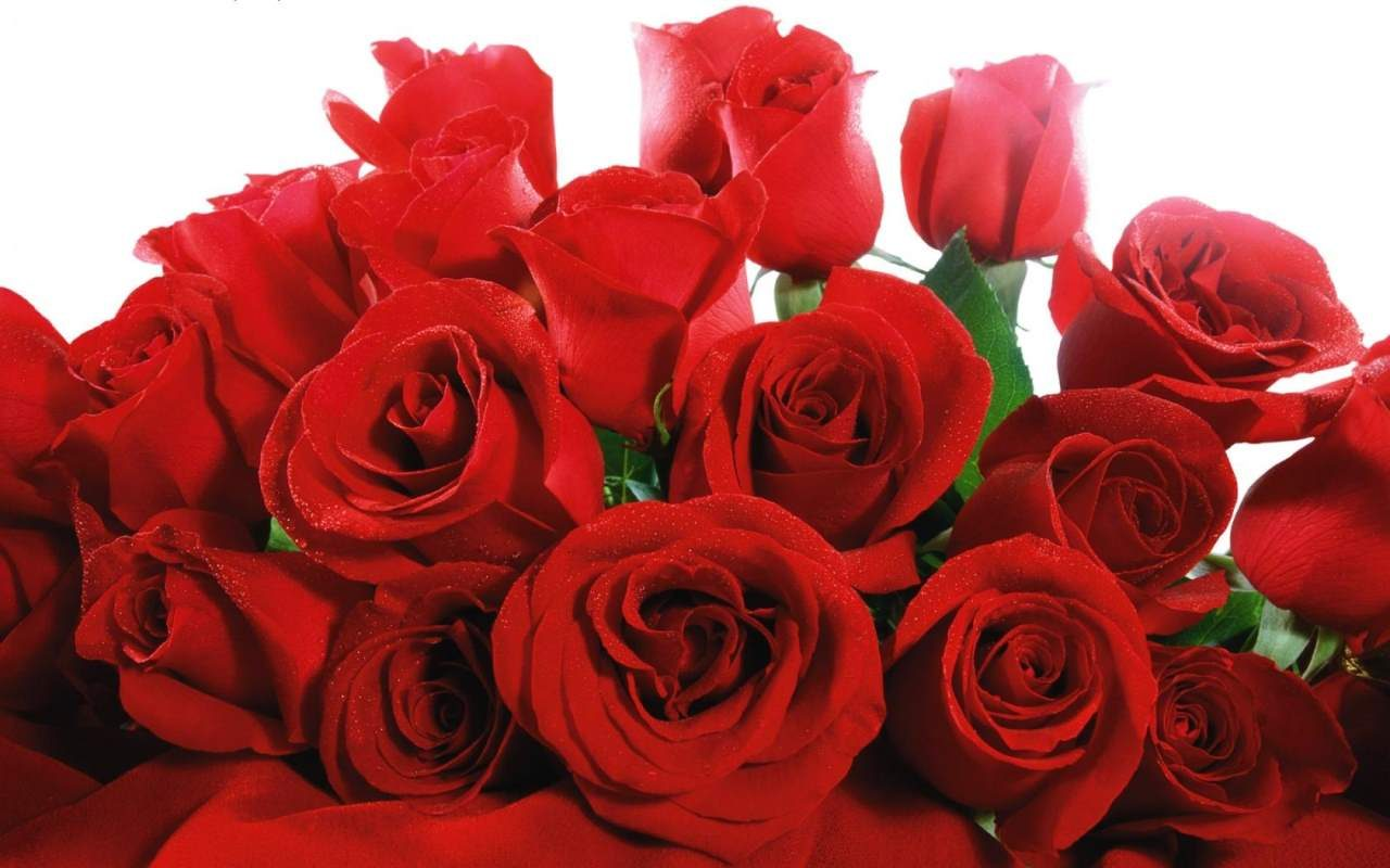 Most Beautiful Red Rose Flowers In The World Top 25 Roses Why