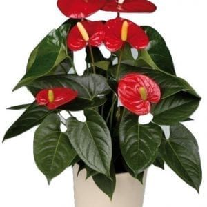 Anthurium Plant in container