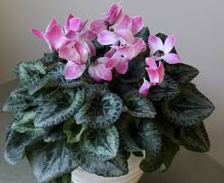Mother's Day Cyclamen