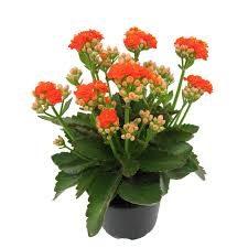Kalanche Succulents