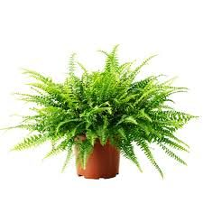 Boston fern larger
